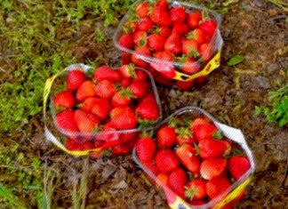 Gaziantep'te çilek hasadı başladı! Kilosu 10 lira