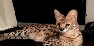 serval-kedisi