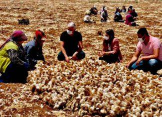 Gaziantep'in Oğuzeli ilçesi Kaymakamı Büşra Uçar, sarımsak hasadı gerçekleştiren çiftçileri ziyaret etti.